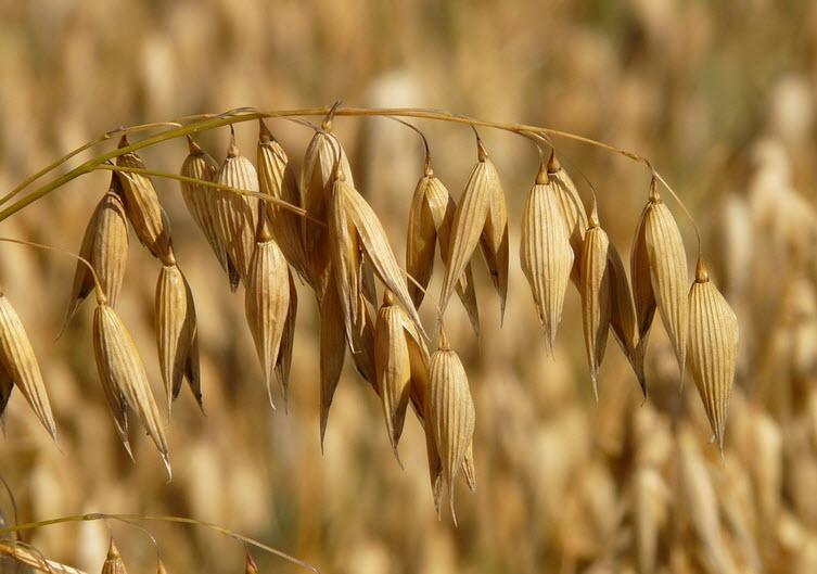 oats on field